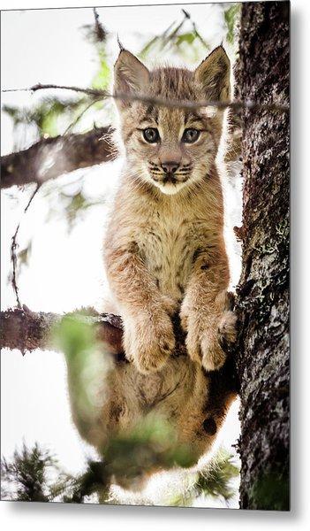 Lynx Kitten In Tree Metal Print