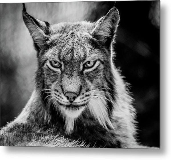 Lynx Portet Metal Print