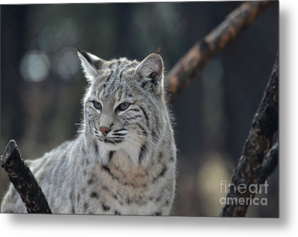 Lynx With A Very Unhappy Face Metal Print