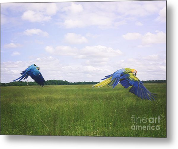 Macaws Flying Together Metal Print
