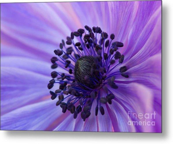 Macro Of Lavender Purple Anemone Metal Print