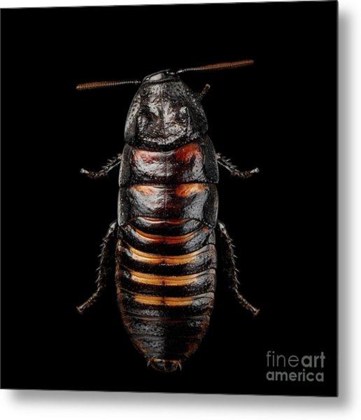 Madagascar Hissing Cockroach Metal Print