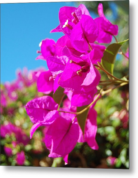 Magenta Bougainvillea Metal Print by Jean Booth