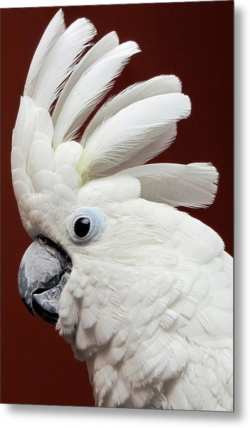 Maggie The Umbrella Cockatoo Metal Print