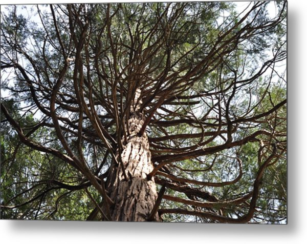 Magic Of The Giant Sequoia  Metal Print by Greg McDonald