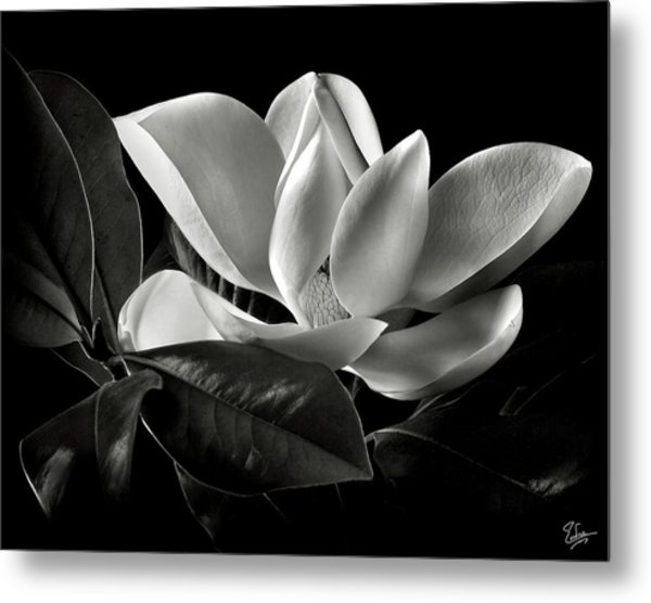Magnolia In Black And White Metal Print