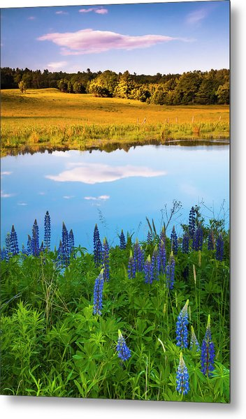 Metal Print featuring the photograph Maine Field Of Lupines by Ranjay Mitra