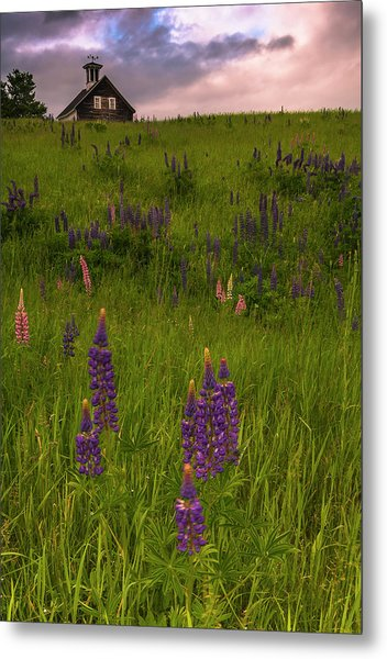 Maine Lupines And Home After Rain And Storm Metal Print