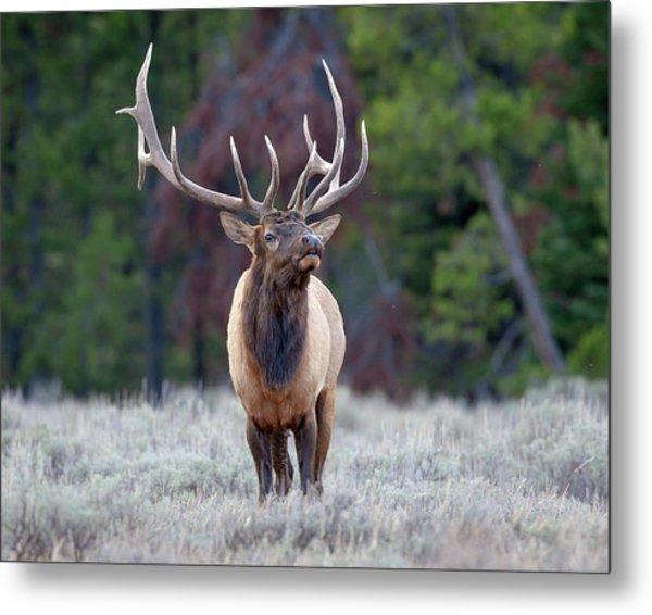 Majestic Bull Elk Metal Print