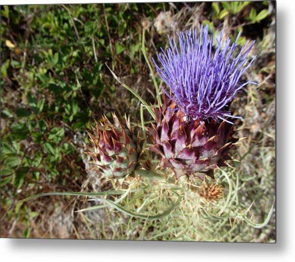 Majestic - Cirsium Purple Plume Thistle Metal Print
