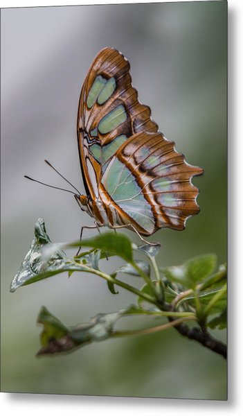 Metal Print featuring the photograph Malachite Butterfly Profile by Patti Deters