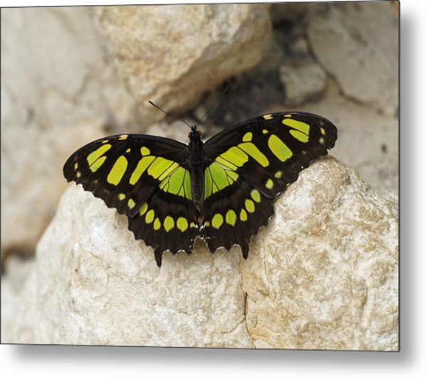 Metal Print featuring the photograph Malachite Butterfly - Siproeta Stelenes by Paul Gulliver