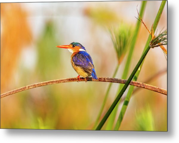 Malachite Kingfisher Hunting Metal Print