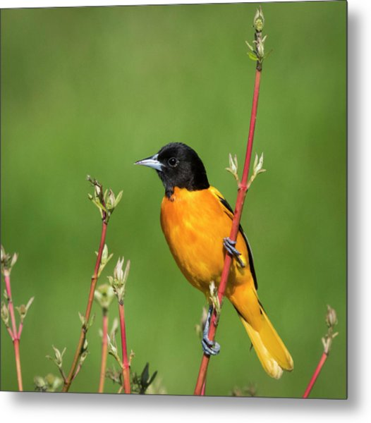 Male Baltimore Oriole Posing Metal Print