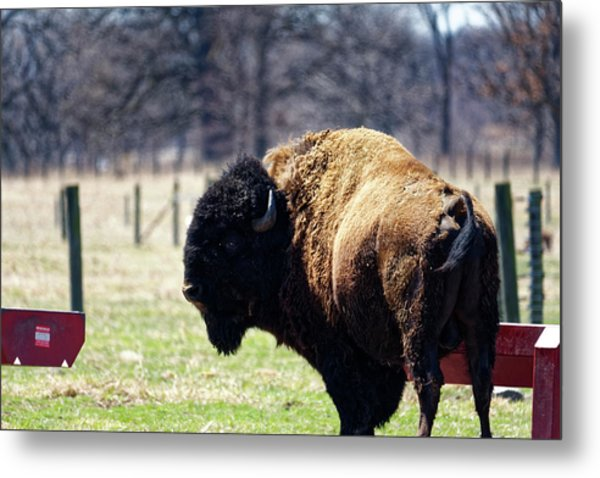 Male Bison Metal Print