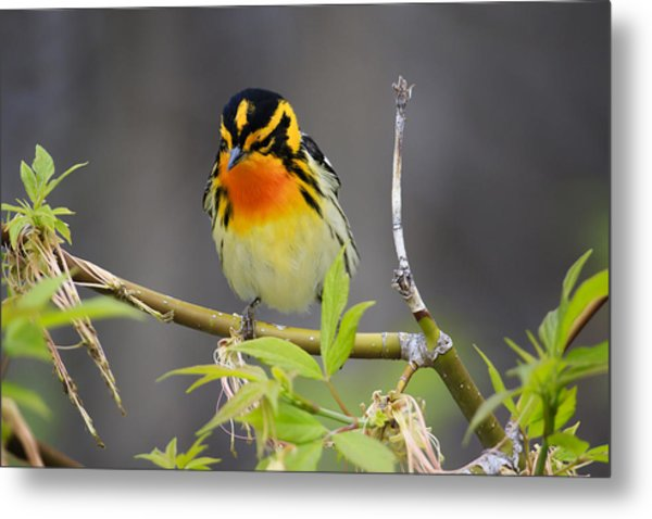 Male Blackburnian Warbler Metal Print