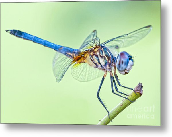 Male Blue Dasher Dragonfly Metal Print