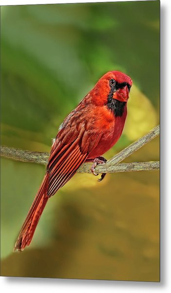 Male Cardinal Headshot  Metal Print