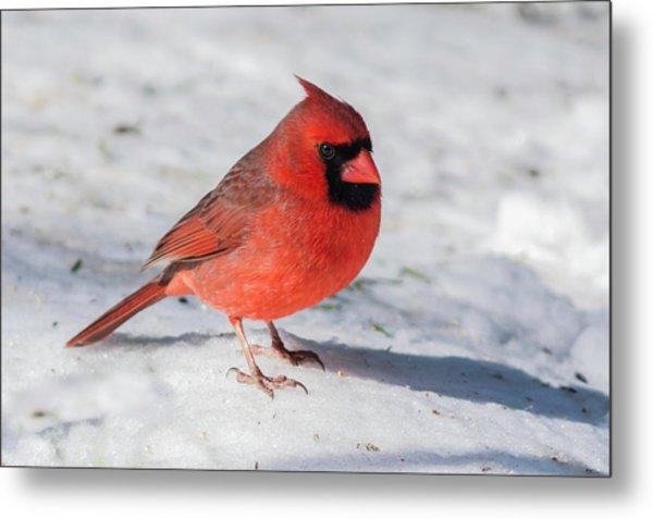 Male Cardinal In Winter Metal Print