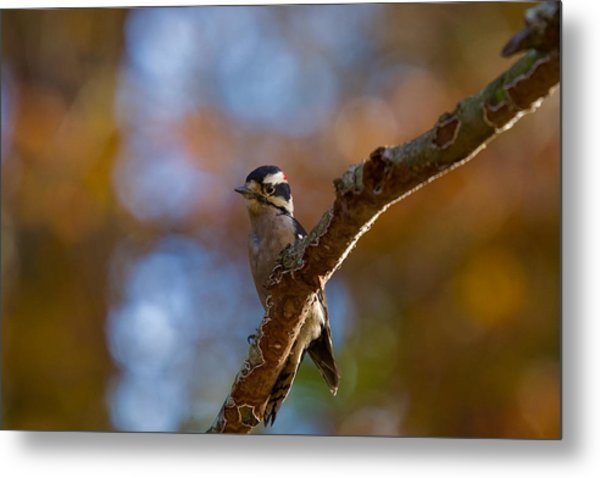 Metal Print featuring the photograph Male Downy Woodpecker by Robert L Jackson