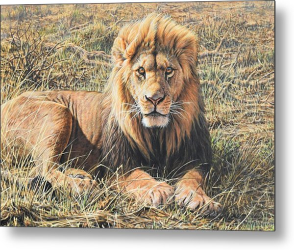 Male Lion Portrait Metal Print