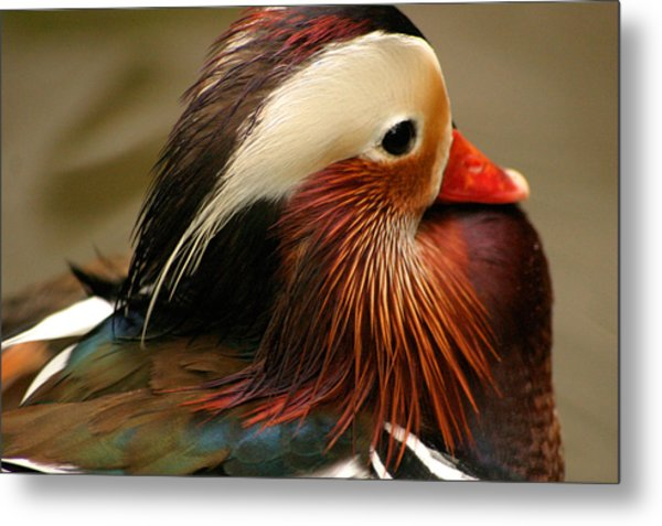 Male Mandarin Duck China Metal Print by PIXELS  XPOSED Ralph A Ledergerber Photography