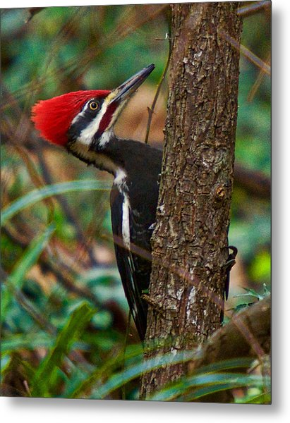 Male Pileated Woodpecker Metal Print
