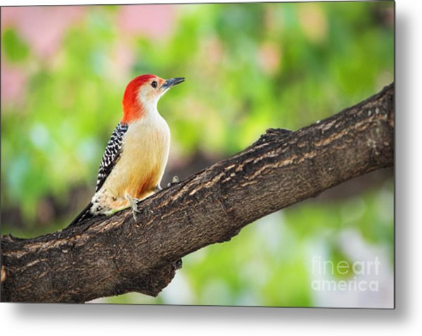 Male Red-bellied Woodpecker Metal Print