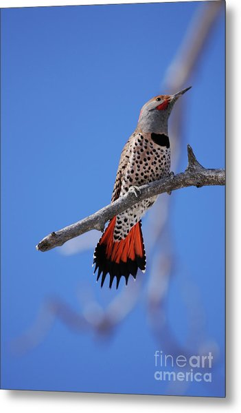 Male Red Shafted Northern Flicker Metal Print