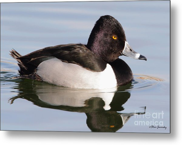 Male Ring Necked Duck Metal Print