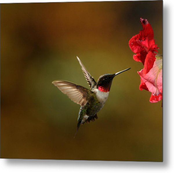 Male Ruby Throated Hummingbird Metal Print