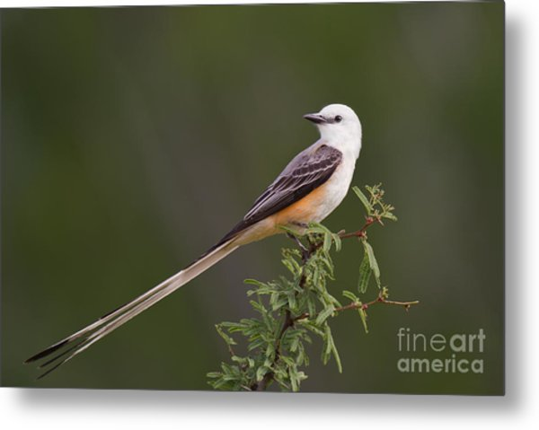 Metal Print featuring the photograph Male Scissor-tail Flycatcher Tyrannus Forficatus Wild Texas by Dave Welling