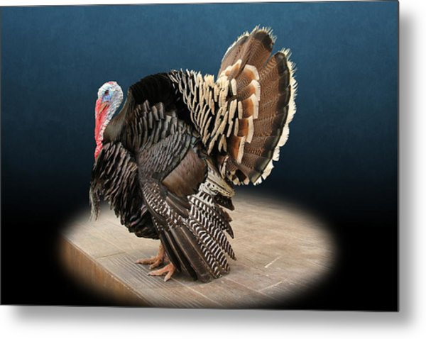 Male Turkey Strutting Metal Print