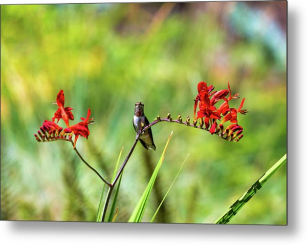 Male Young Hummingbird Perched Metal Print