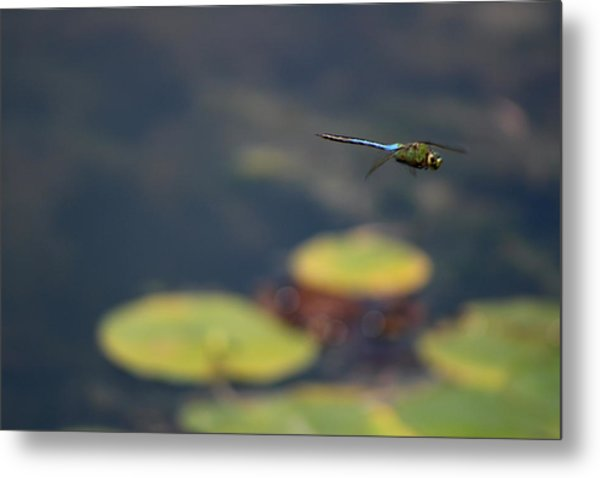 Malibu Blue Dragonfly Flying Over Lotus Pond Metal Print