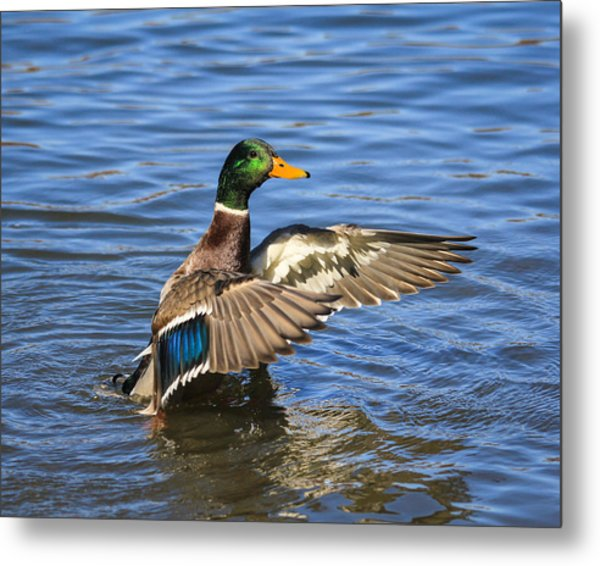 Mallard Drake In The Water Metal Print