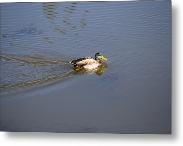 Mallard Duck Burgess Res Co Metal Print
