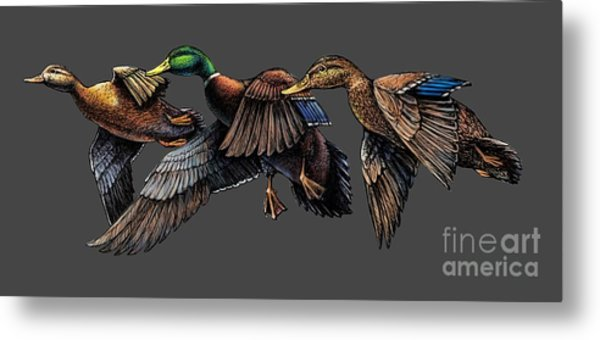 Mallard Ducks In Flight Metal Print