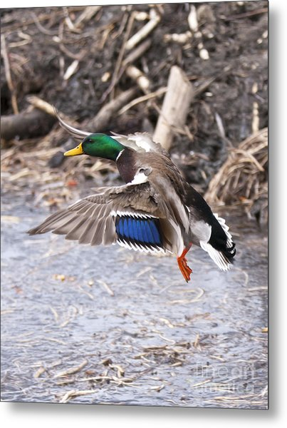 Mallard Flight Metal Print