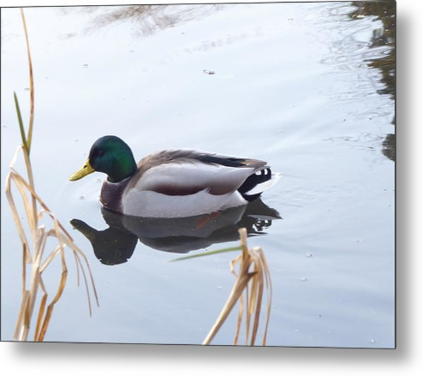 Mallard Reflected Metal Print