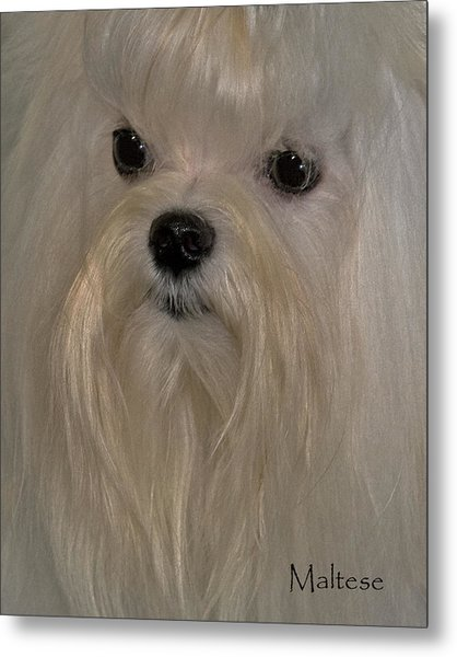 Maltese Metal Print by Larry Linton