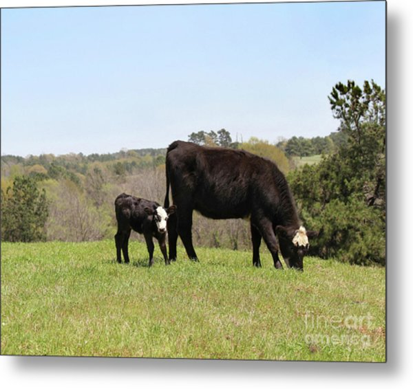 Mama Cow And Calf In Texas Pasture Metal Print