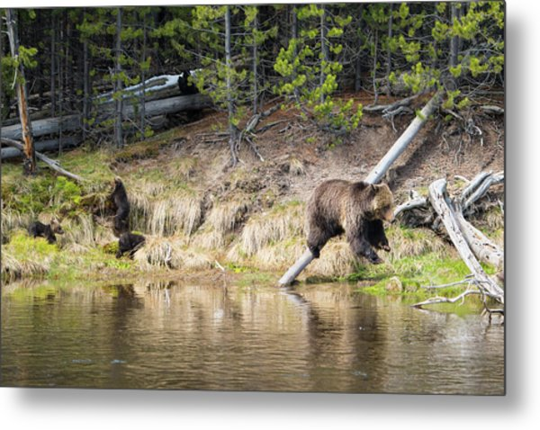 Mama Grizzly And Her 3 Cubs Metal Print