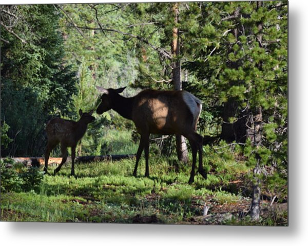Elk Calf - Mother Rmnp Co Metal Print