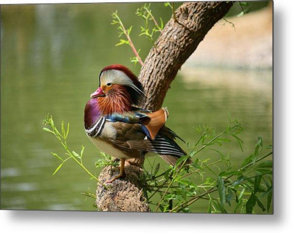 Mandarin Duck On Tree Metal Print