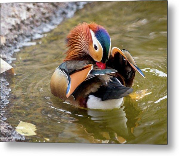Mandarin Duck Preening Feathers Metal Print