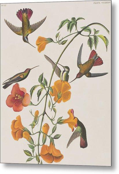 Mango Humming Bird Metal Print