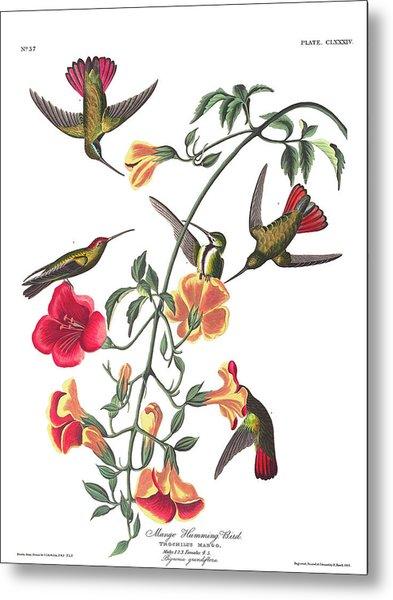 Mango Hummingbird Bird Metal Print