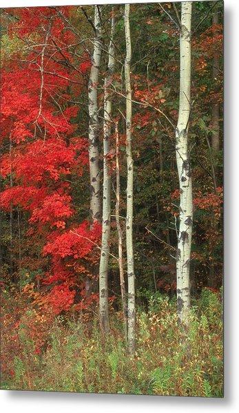 Maple And The Birch Metal Print by Raju Alagawadi