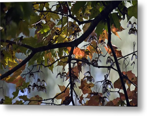 Maple Color Metal Print by Ross Powell
